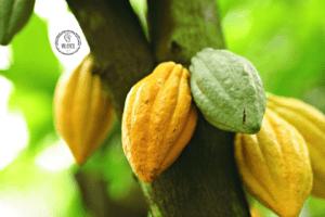 Cacao arbre couleur jaune publication innutswetrust