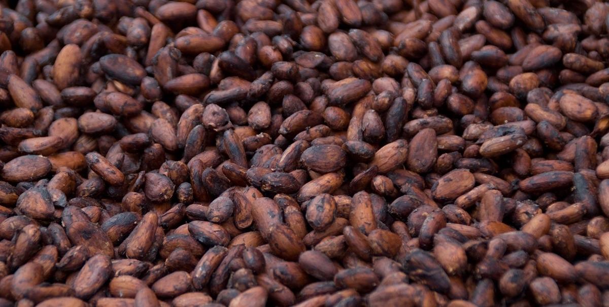 Cacao en graines