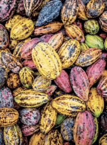 Graines de cacao multicolores